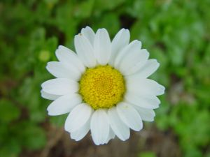 Daisy_flower_green_background